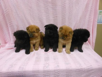 pure Chow Chow Pups For Sale