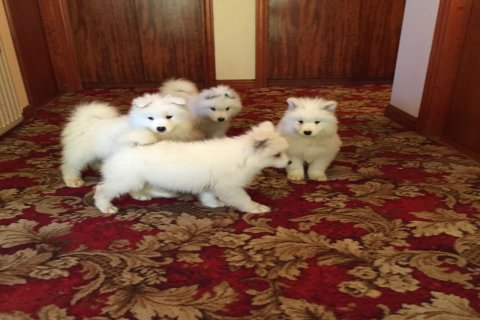 صور  Top quality Semoyed puppies for adoption 1