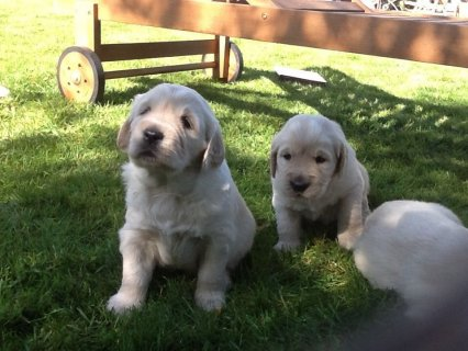 صور Male and female Golden Retriever puppies 1