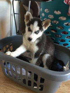 Excellent Siberian Husky Puppies