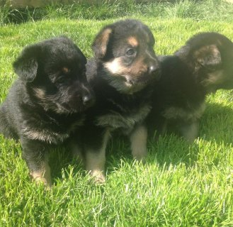 German Shepard Puppies Available for Free Adop
