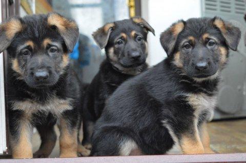 Sweet german shepherd  Puppies