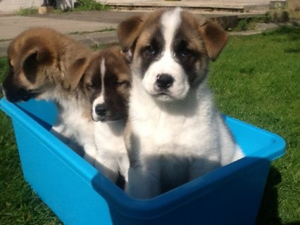 Gorgeous akita  Puppies Available