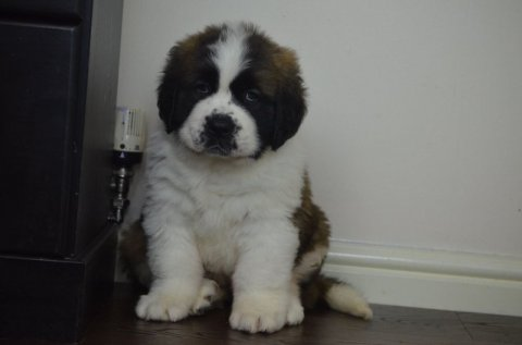 Male AKC Registered saint Bernard Puppy