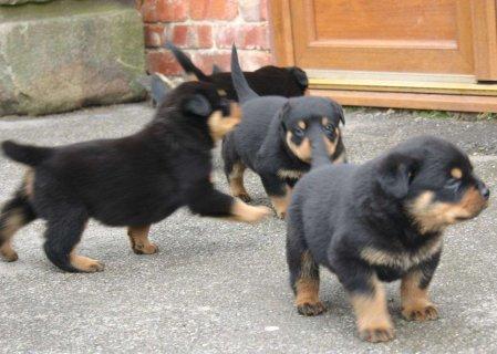 Excellent Rotweiller Puppies