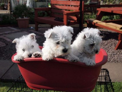 Perfect West Highland Terrier puppies