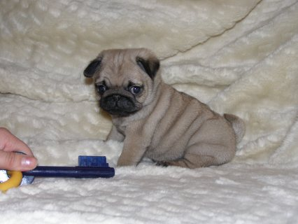 Black And Grey Pug Puppies Available