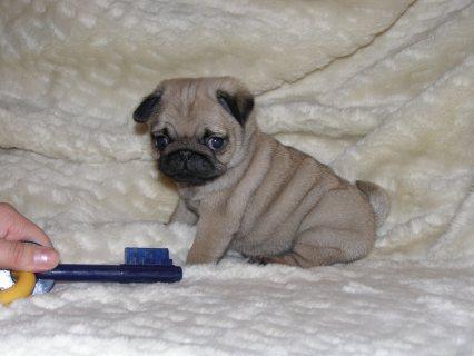 Yorkie Puppy for adoption