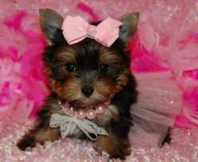 Yokie Puppy for adoption