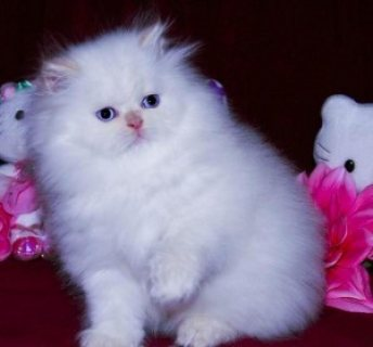 صور Adorable persian kittens for new home 1