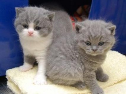 Male and female British shorthair kittens available