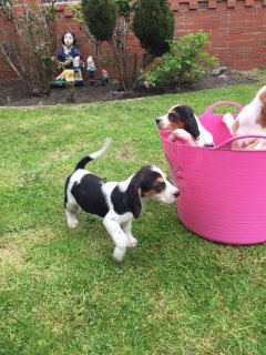 Healthy and adorable jack russell puppies available
