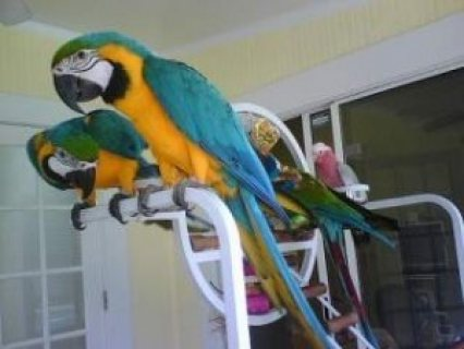صور Tamed and Talking Macaw Parrots for sale 1