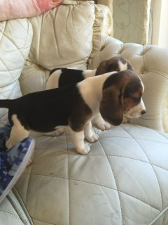 Super Adorable beagle Puppies