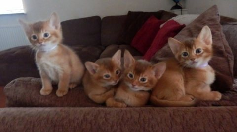 Abyssinian Male and Female Kittens