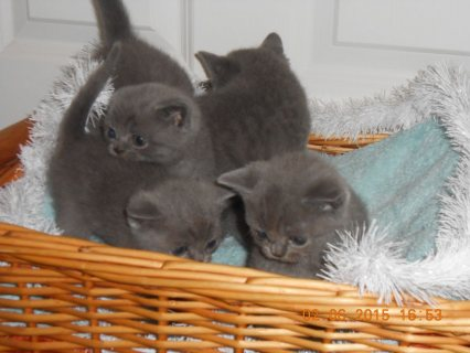 Lovely male and female British Short Hair for adoption