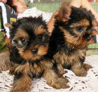 Pure breed yorkshire  puppies available