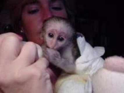 Tamed Capuchin Monkeys,,,.................