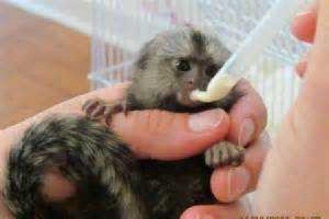 Marmoset Monkey for adoption