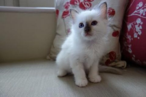 Birman Kittens For Sale