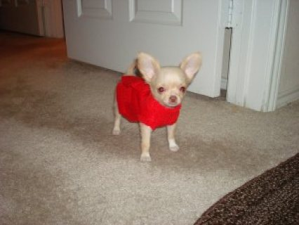 ADOPT macy (chihuahua puppy) if you are within the U.S