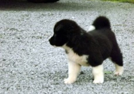 magnificent Akita puppies for sale