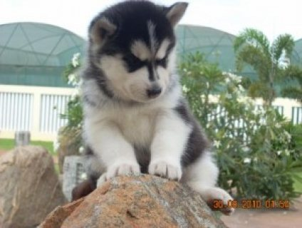 AKC Registered Siberian Husky Puppies for sale