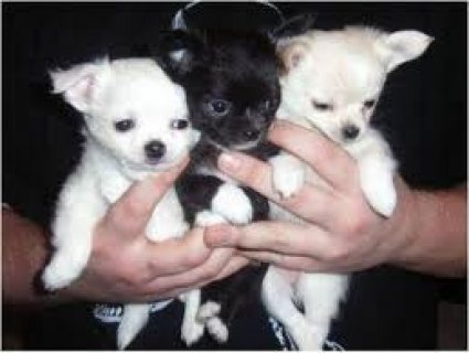 Beutifull Chihuahua Puppies for Rehoming