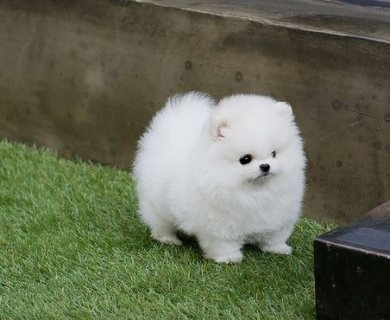 AKC Teacup-Size Pomeranian Puppies for sale