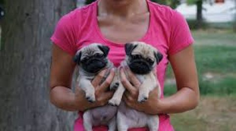 Registered male and female Pug Puppies for sale
