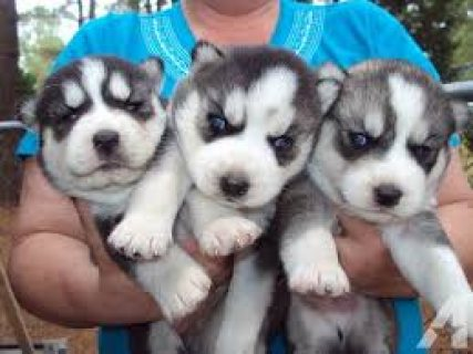Stunning Blue-eyed Siberian Husky Puppies for sale..,,..,.,