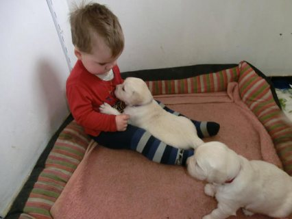 Sugar Sweet purebred golden retriever puppies