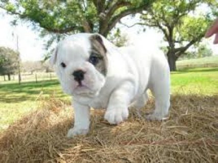 Cute Male and Female English Bulldog Puppies Available for sale