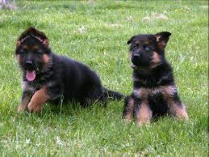 Fabulous German Shepherd puppies for sale