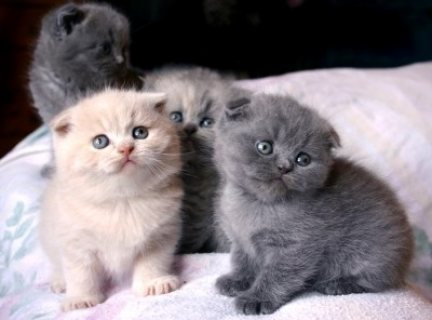 Scottish Fold Kittens for sale