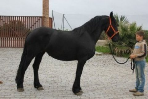 Young Energetic Fresian Gelding Horse For Sale
