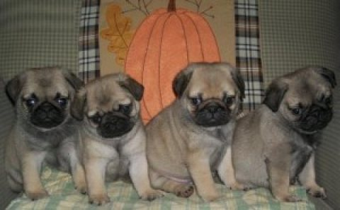 Pug Puppies Ready to go