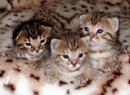 صور TICA Registered F2 Savannah kittens 1