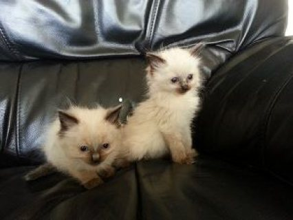 صور Burmese cross Ragdoll kittens 1