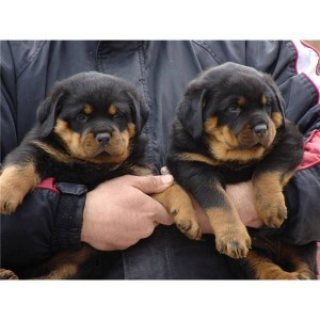 12 Weeks Old Registered Rottweiler Puppies