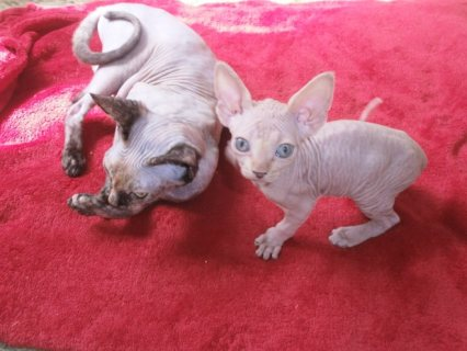 Beautiful Sphynx kittens for adorption