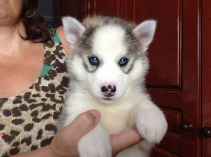 excellent husky puppies for adoption   )