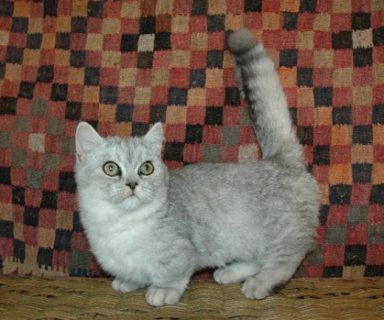 Munchkin Kittens Registered for adorption