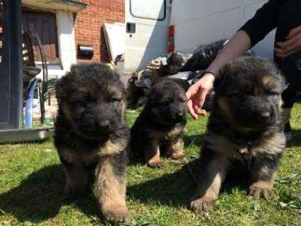 Playful German Shepherd Puppies
