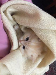 7 weeks old kitten