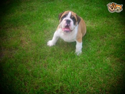 Cute And adorable  English Bulldog Puppy for sale