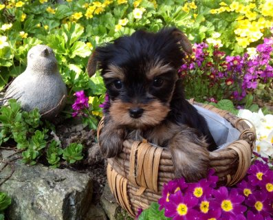 Yorkie Puppies Males & Females..