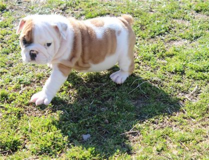 English Bulldog Puppies Available,,,