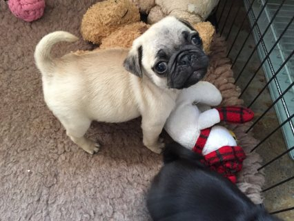 Pug Puppies for Adoption..