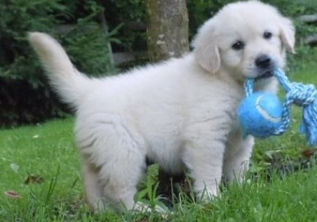Golden Retriever puppies- Male & Female,,,